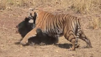 oso-pelean-brutalmente-tigre-video-protegiendo-cachorro-india