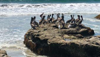Pelícanos, garzas, cigüeñas y águilas visitan la laguna de Chacahua, en Oaxaca