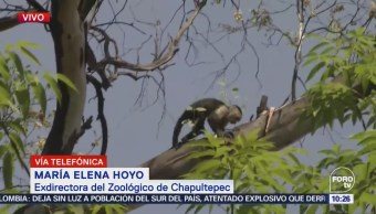 Personal del Zoológico de Chapultepec apoya en rescate de mono en Reforma