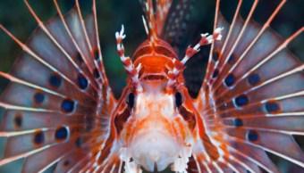 alertan presencia pez leon biosfera los petenes campeche