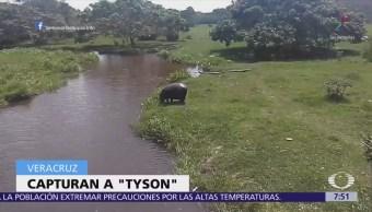 Profepa capturó al hipopotámo que deambulaba en Las Choapas, Veracruz
