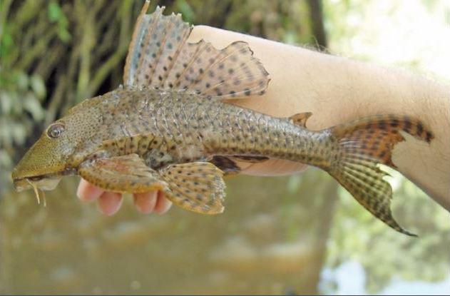 Promueven el consumo del 'pez diablo' en Veracruz
