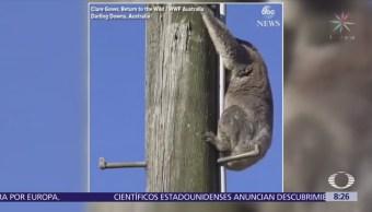 Rescatan a koala que pasó 2 días en un poste de energía