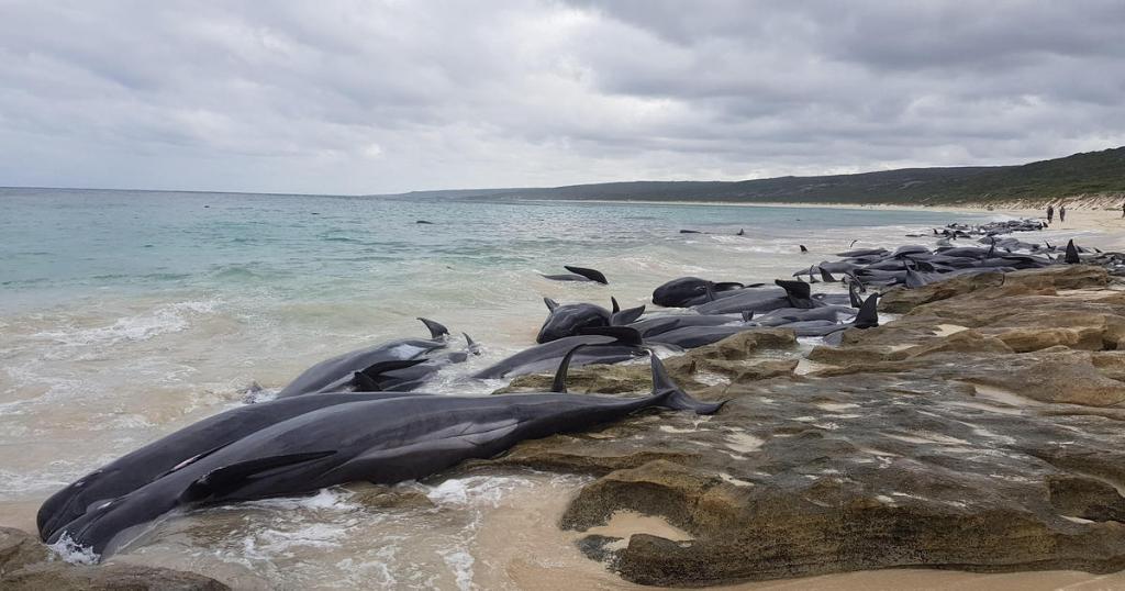 Rescatan solo cinco 150 ballenas varadas Australia