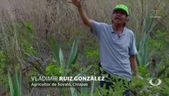 Campesinos Chiapas Cambian Sembrar Maíz Agave