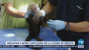 Capturan Mono Capuchino Lomas Chapultepec