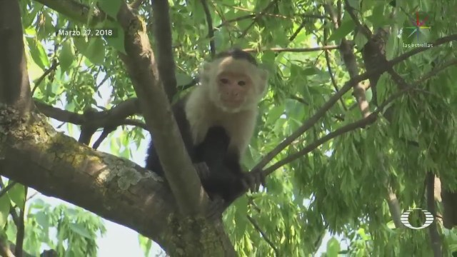 Capturan al mono capuchino que apareció en Reforma
