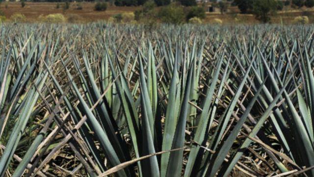 Cultivo de agave sustituye siembra de maíz en Chiapas
