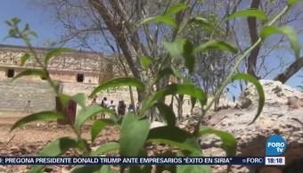Descubren Jardín Plantas Medicinales Zona Arqueológica Uxmal
