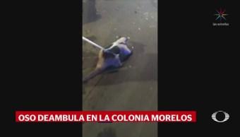 Encuentran Oso Hormiguero Colonia Morelos CDMX
