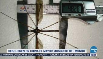 Extra Extra: Descubren en China el mayor mosquito del mundo