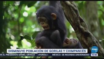 Extra Extra: Disminuye población de gorilas y chimpancés