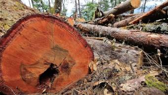 Plaga del gusano descortezador afecta miles de hectáreas de bosque en Chiapas