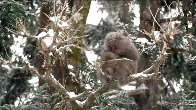 Monos japoneses Monos japoneses toman baños termalesbaños termales