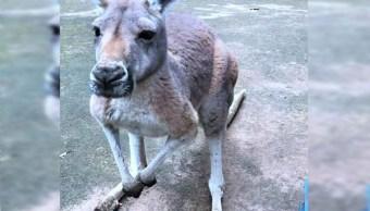 Canguro muere en un zoo de China por ladrillazos de visitantes