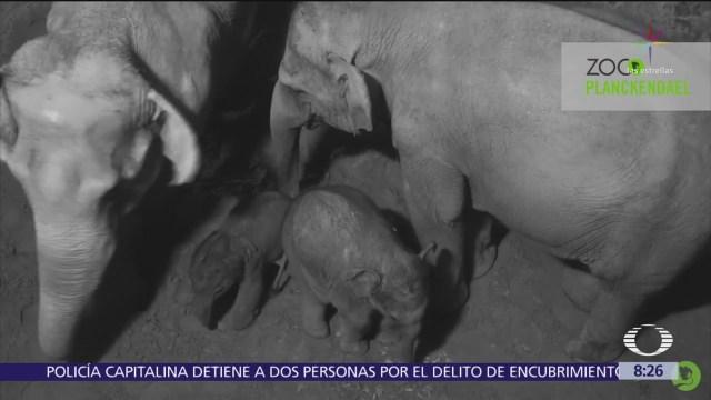 Nace bebé elefante en zoológico de Planckendael