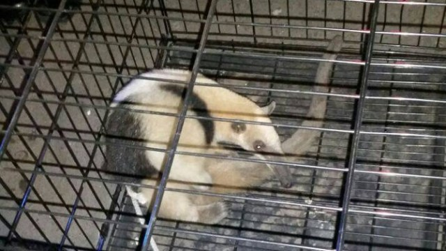 Rescatan a oso hormiguero en la colonia Morelos de la CDMX