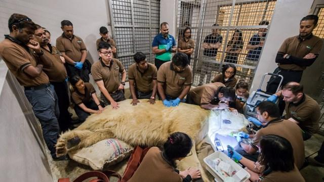 Muere 'Inuka', el único oso polar nacido en el trópico