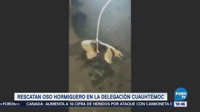 Rescatan Oso Hormiguero Delegación Cuauhtémoc