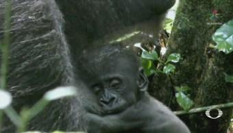 Revelan Imágenes Bebé Gorila República Congo