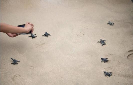 Inicia temporada de desove de tortugas en Campeche
