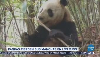 Extra Extra: Pandas pierden manchas en los ojos