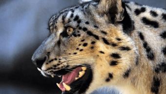 Un leopardo ataca y devora a un nino en Uganda
