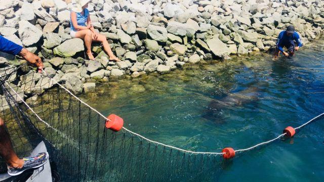 Rescatan a lobo marino que deambulaba en Marina de Cabo San Lucas