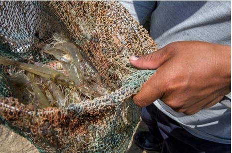 Inicia veda de pesca de camarón en Golfo de México