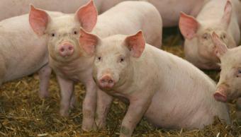 grupo-de-cerdos-de-granja-virus-porcino-nueva-amenaza-salud-mundial