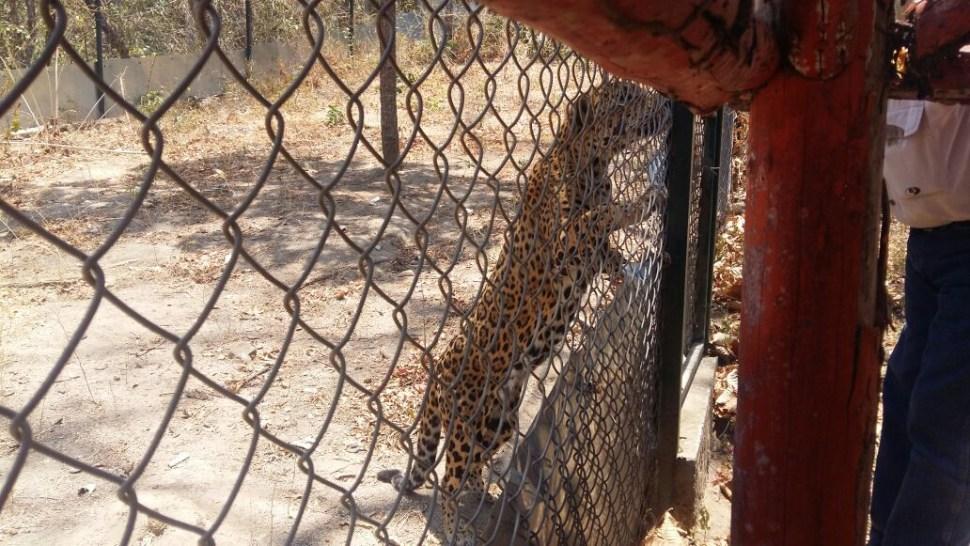 Profepa traslada a dos ejemplares de jaguar a un santuario en CDMX