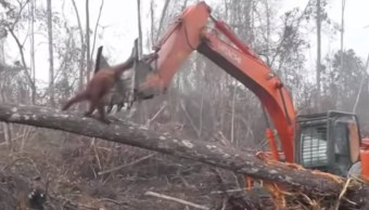 Orangután enfrenta excavadora Destruye hábitat Indonesia