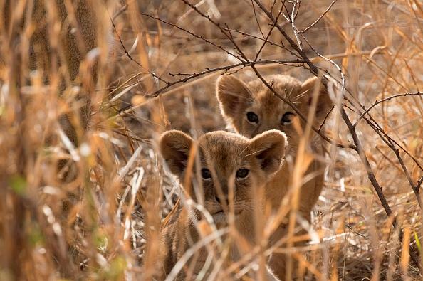 Nacen tres leones africanos en Ciudad Serdán, Puebla