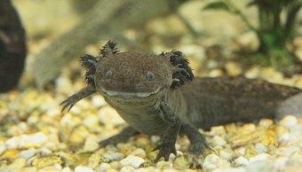 Ajolote-Axolotl-Monjas-Especies-Endemicas-Criadero-ajolotes,-Convento-Pátzcuaro-ajolote