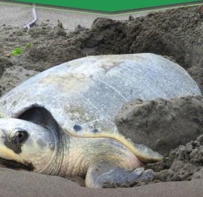 Aseguran 100 huevos de tortuga en Boca del Río, Veracruz