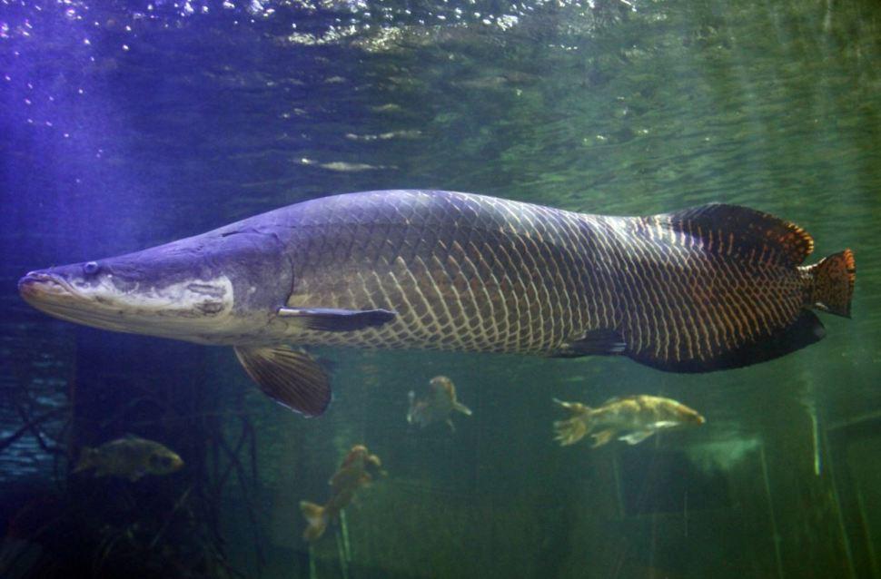 Paiche y taricaya, especies casi prehistóricas preservadas en Perú
