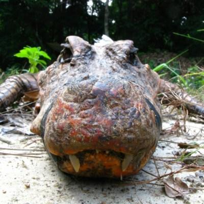 Encuentran cocodrilos naranjas únicos en su tipo en África central