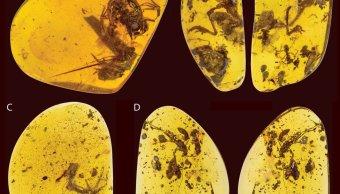 fosiles-rana-prehistorica-atrapado-bolas-ambar-99-millones-anos