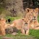Abaten a leona que escapó de zoológico en Bélgica