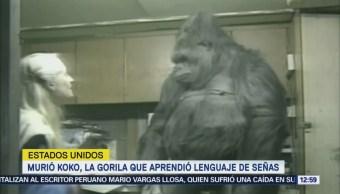 Murió Koko, la gorila que aprendió lenguaje a señas