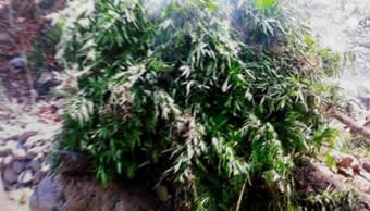 Destruyen más de tres mil plantas de marihuana Guadalajara