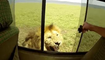 Video Hombre Intenta Acariciar León, Acariciar León, León, Video, Turista, Africa