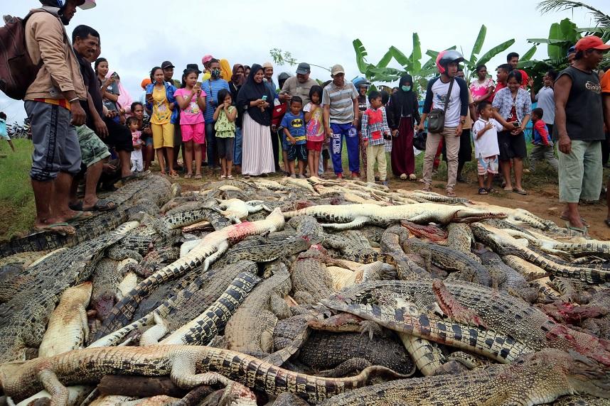 Indonesia: una multitud enfurecida masacra a 300 cocodrilos por venganza