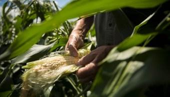 Lluvias y granizadas destruyen cultivos en Querétaro