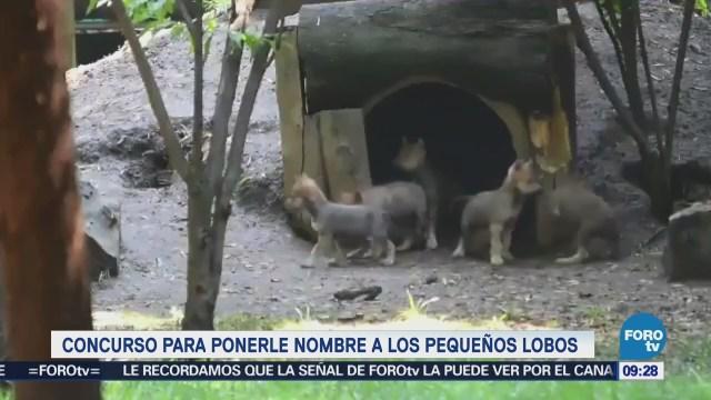 Inician concurso para nombrar a lobos mexicano