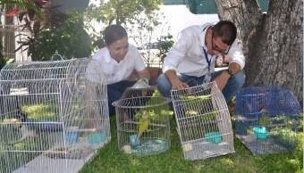 Liberan a tres cotorras atoleras y una urraca en Colima (Profepa)