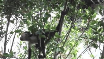 Mono capuchino capturado en CDMX se quedará en Zoológico de Chapultepec