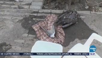 Mueren pelicanos por calor en Mexicali, Baja California