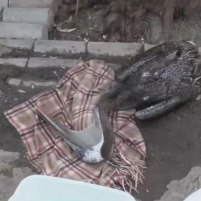 Calor afecta a pelícanos en Mexicali, Baja California
