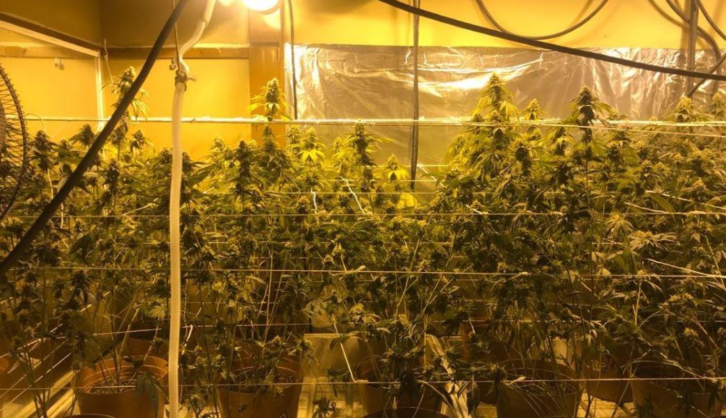 aseguran 256 plantas marihuana invernadero instalado vivienda tijuana